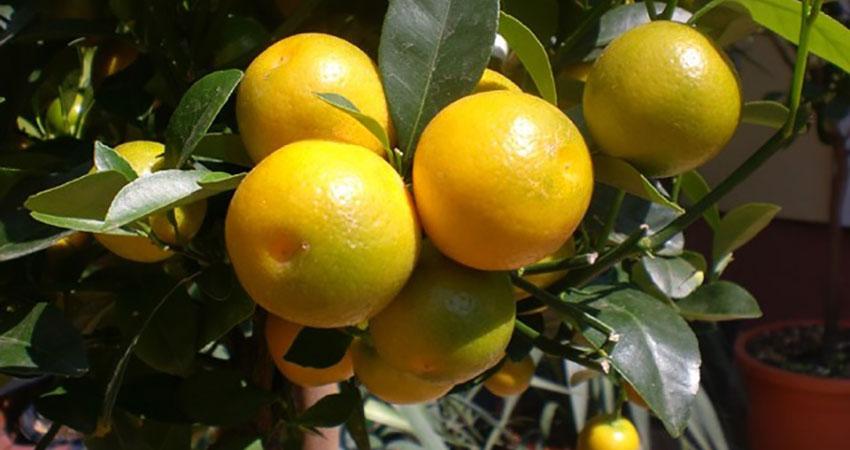 Sommer-Aktion: -20% auf Zitruspflanzen im Juli